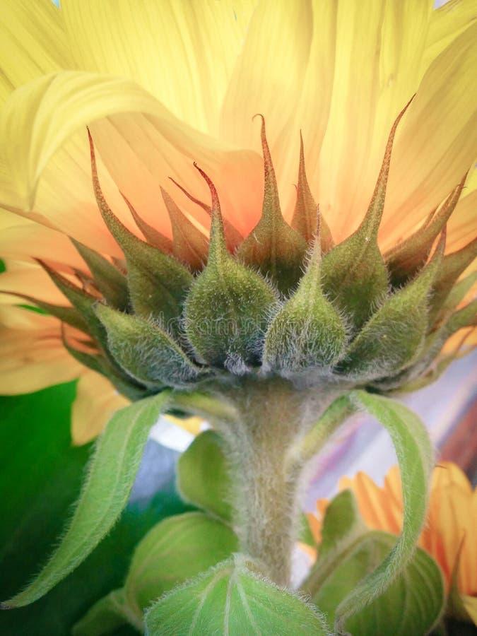Closeup av den ljusa gula solrosen med stammen royaltyfri foto
