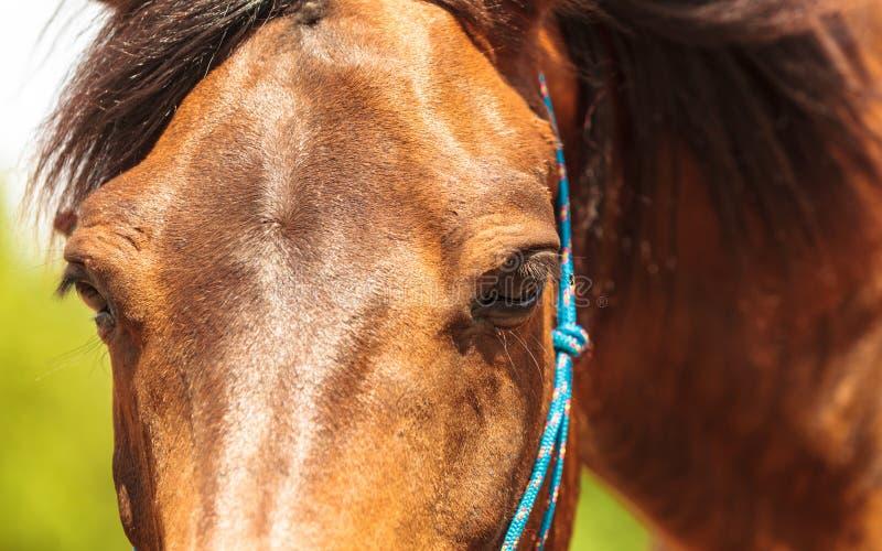 Closeup av den majestätiska behagfulla bruna hästen royaltyfria bilder
