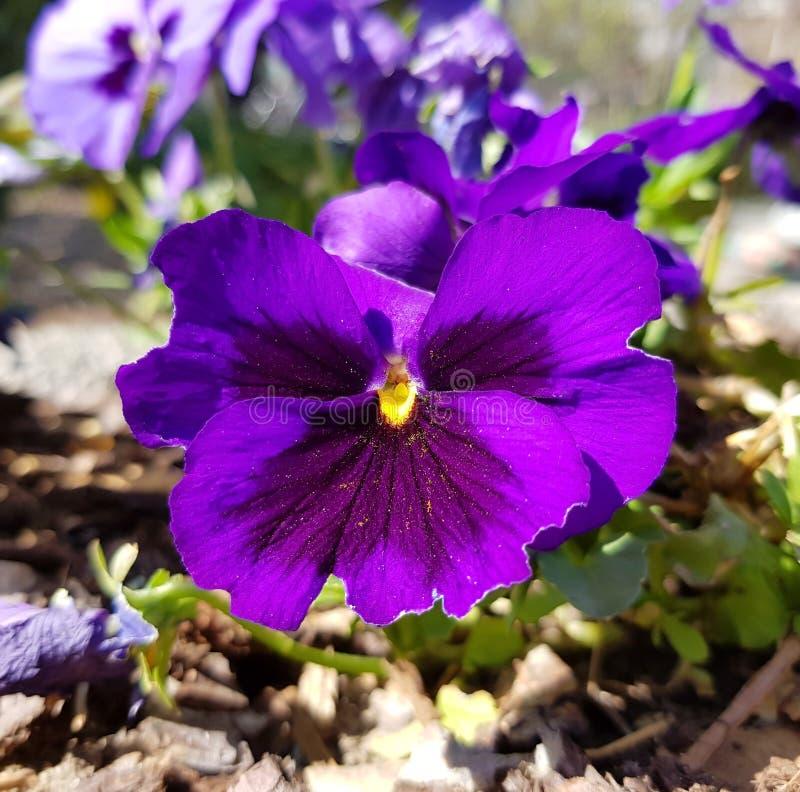 Closeup av den purpurfärgade penséen H?rlig blomma i solen f?r bladblommor f?r bakgrund h?rlig tr?dg?rd royaltyfri foto