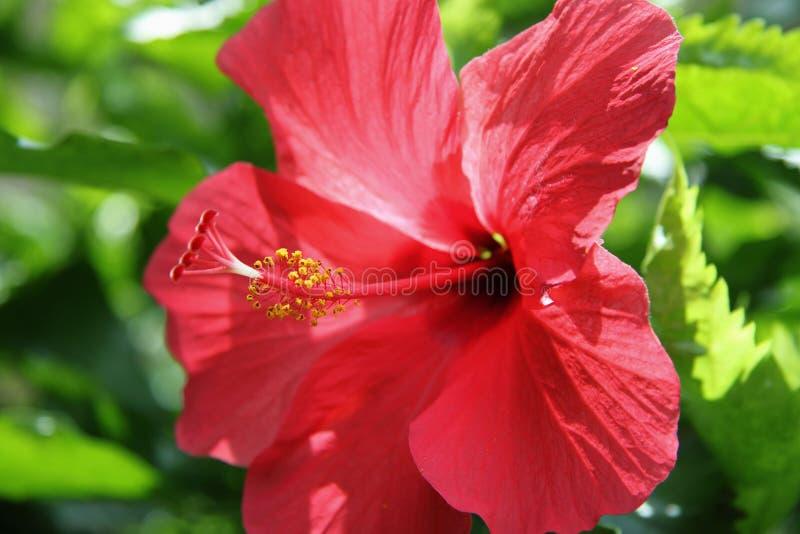 Closeup av den röda hibiskusen på lövverk för naturgräsplanbakgrund i solig dag, ståndare och pistill För gåvavalentin` s arkivbild