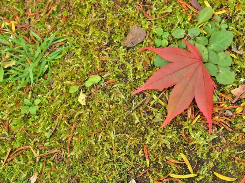 Closeup av den röda lönnlövet på skoggolv royaltyfria bilder