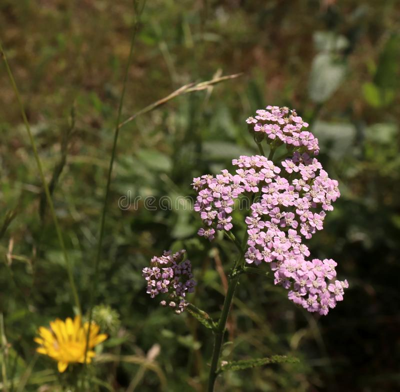 Closeup av den rosa blommaachilleamillefoliumen som gemensamt är bekant som yarrow eller gemensam yarrow i organisk trädgård medi fotografering för bildbyråer