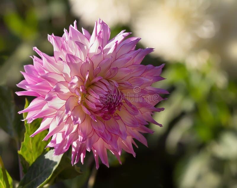 Closeup av den rosa dahlian arkivfoto