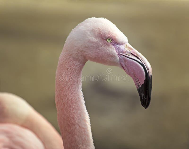 Closeup av den rosa flamingo royaltyfria foton