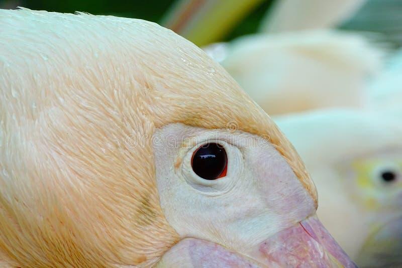 Closeup av den rosa pelikan fotografering för bildbyråer