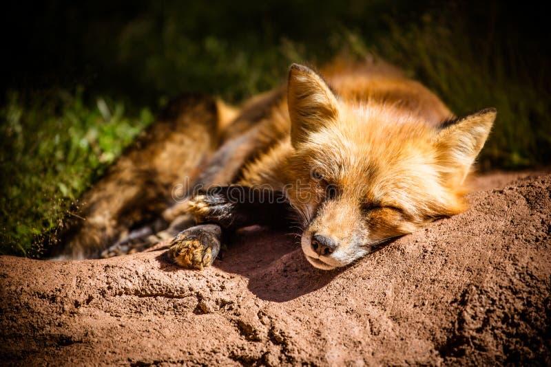Closeup av den sömniga röda räven på jordning royaltyfria foton