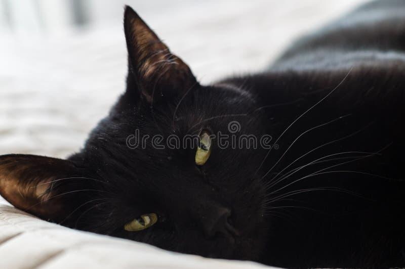 Closeup av den trötta svarta haired inhemska katten arkivfoton