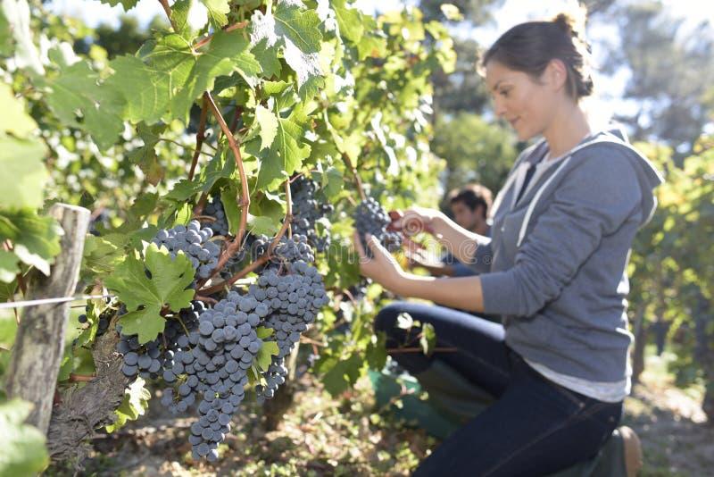 Closeup av den unga kvinnan i vingårdarbete royaltyfri bild