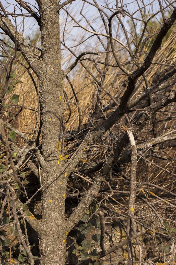Closeup av det knotiga trädet utan sidor fotografering för bildbyråer