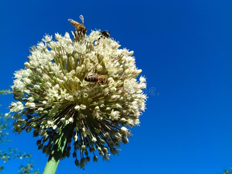 Closeup av det stora blommahuvudet av löken på bakgrund för blå himmel Bin pollinerar lökblomman kopiera avst?nd royaltyfri fotografi