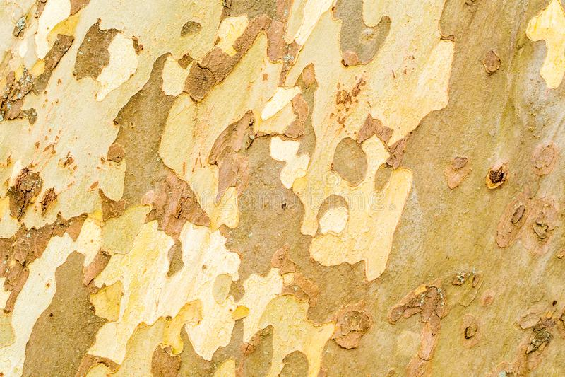 Closeup av det stora platan trädskället arkivbilder