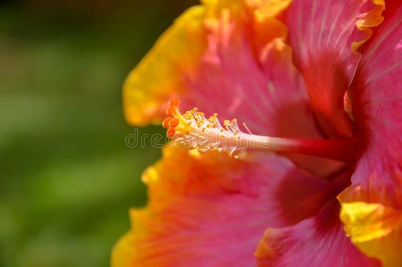 Closeup av en apelsin och en röd stigma och en ståndare för hibiskusblommavisning royaltyfria bilder