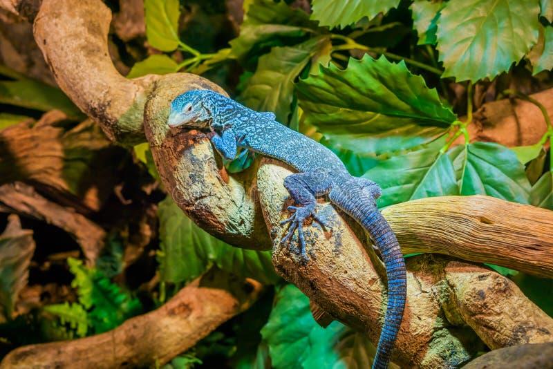 Closeup av en blå prickig trädbildskärm på en filial, utsatt för fara ödla från ön av Batanta i Indonesien fotografering för bildbyråer