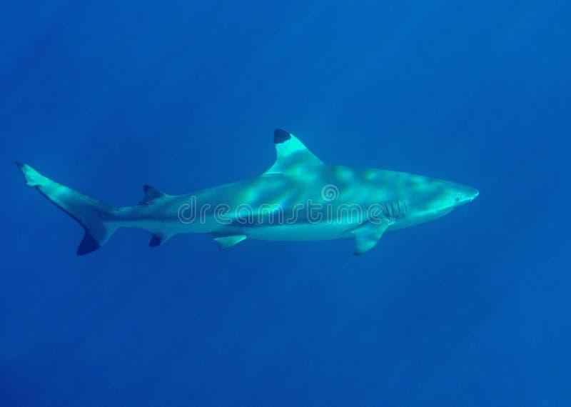 Closeup av en blacktiprevhaj, Carcharhinusmelanopterus, simma som är undervattens-, Bali royaltyfria foton