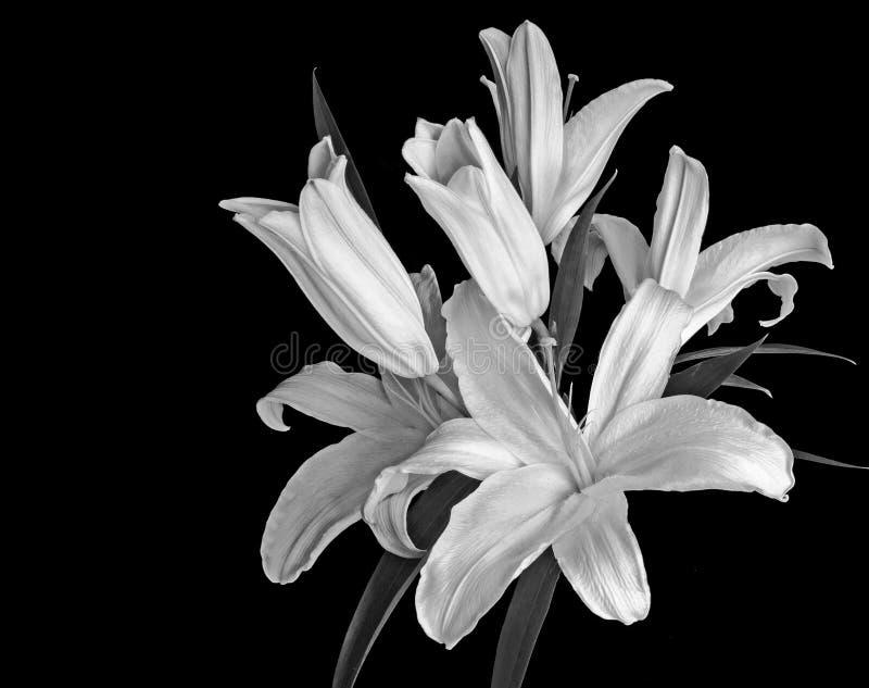 Blomningliljar mot en svart bakgrund fotografering för bildbyråer