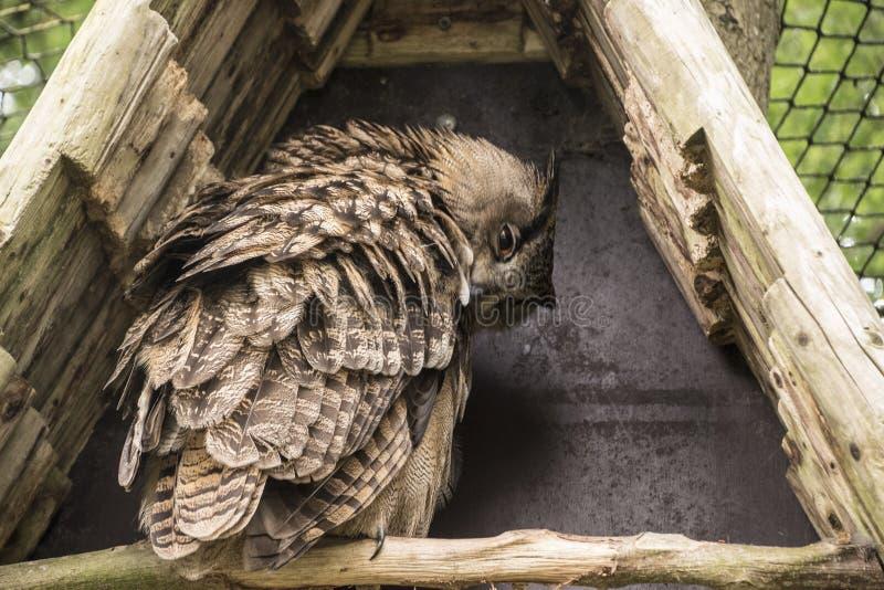 Closeup av en EurasianEagle-Owl Bubo bubo royaltyfri bild