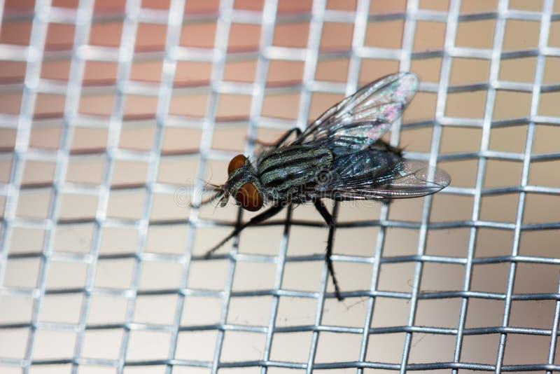Closeup av en fluga på det netto royaltyfri bild