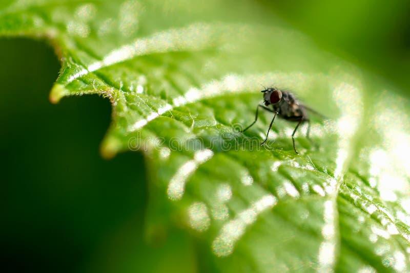 Closeup av en fluga på ett grönt druvablad royaltyfria bilder