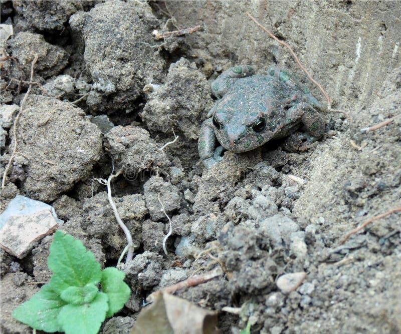 Closeup av en groda som bor i jordningen, amfibie med gröna och röda fläckar arkivbild