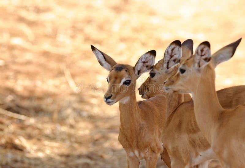 Closeup av en grupp av den unga impalan arkivbilder