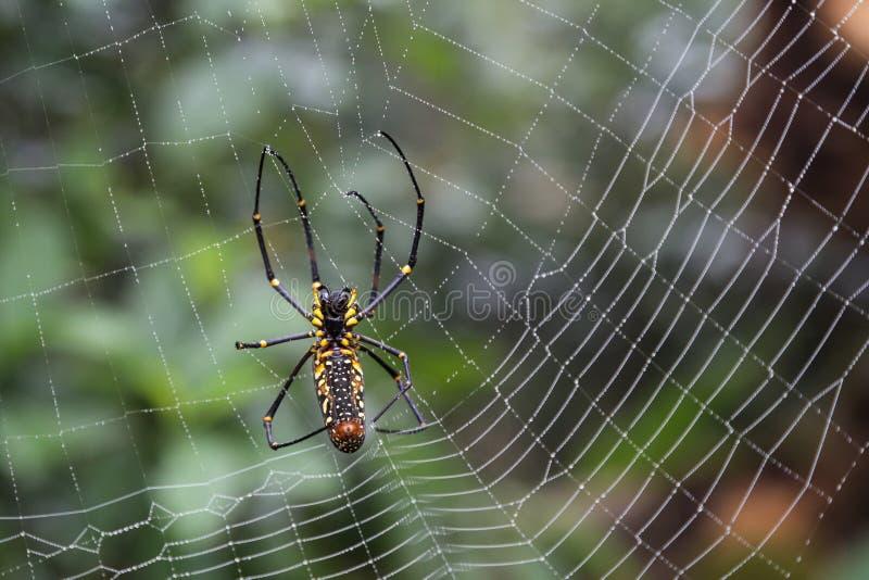 Closeup av en guld- siden- orb-vävare spindel royaltyfria bilder