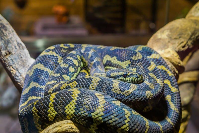 Closeup av en guling med den svarta ormen på att lägga på en filial, tropisk reptil royaltyfria foton