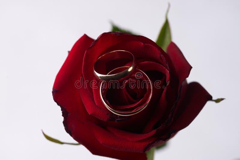 Closeup av en härlig romantisk röd ros med två gifta sig guld- cirklar arkivbild