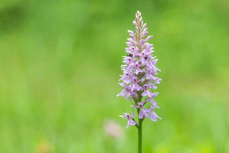 Closeup av en hedprickig-orkidé i de österrikiska fjällängarna royaltyfria bilder
