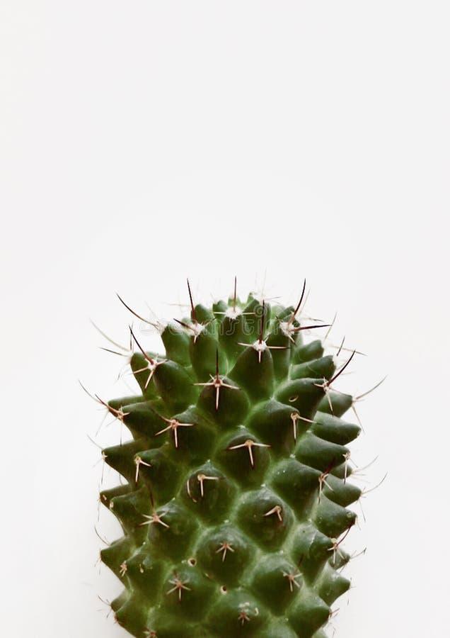 Closeup av en isolerad kaktusväxt på en vit bakgrund med utrymme för text vektor illustrationer