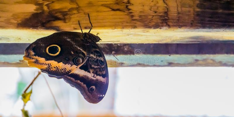 Closeup av en jätte- ugglafjäril för skog, tropiskt kryp från Amerika, populärt husdjur i entomoculture arkivbild