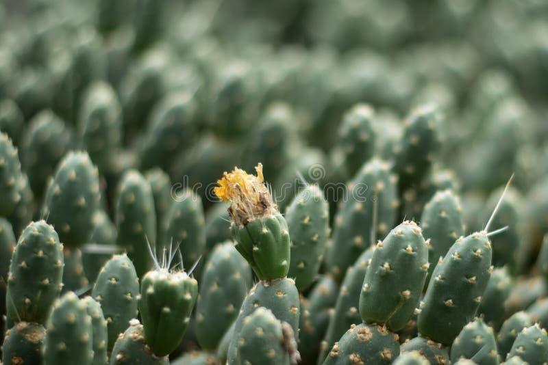 Closeup av en kaktus i blomma royaltyfri fotografi