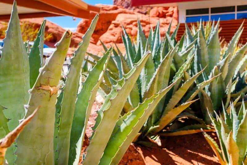 Closeup av en kaktusväxt i en öken arkivfoto