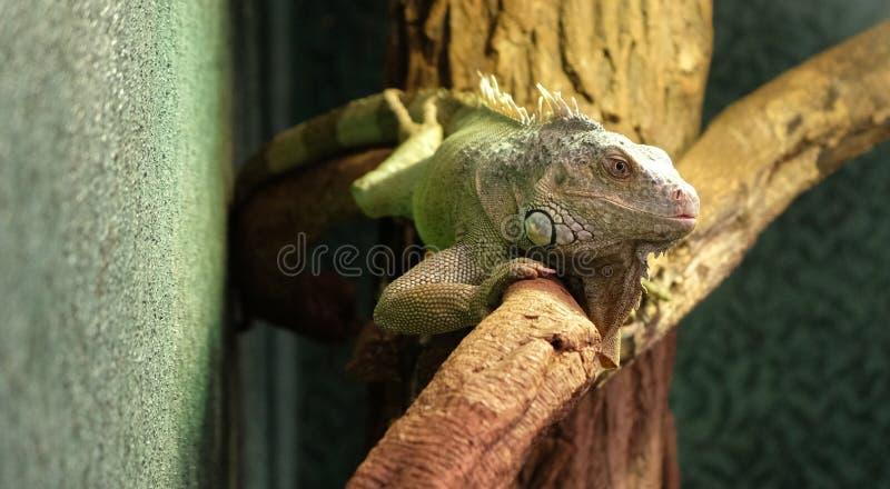 Closeup av en kameleont p? en filial, f?rgrik leguan i de svarta f?rgerna som ?r gr?na och, tropisk reptil fr?n Madagaskar royaltyfri foto