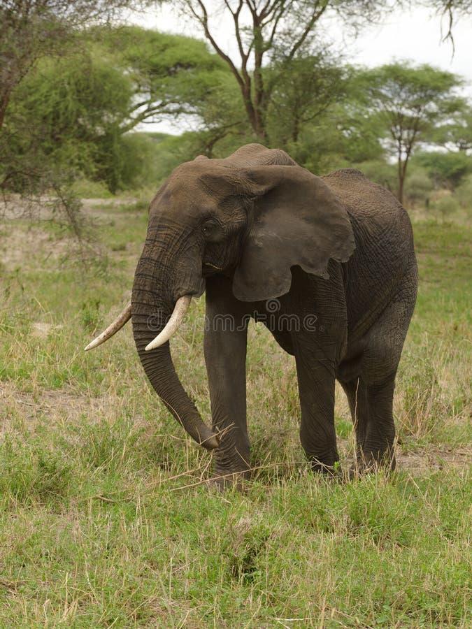 Closeup av en kvinnlig afrikansk elefant arkivbild