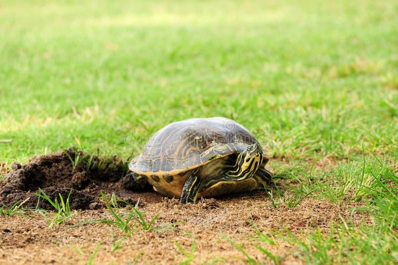 Täckande ägg för kvinnlig sköldpadda royaltyfri bild