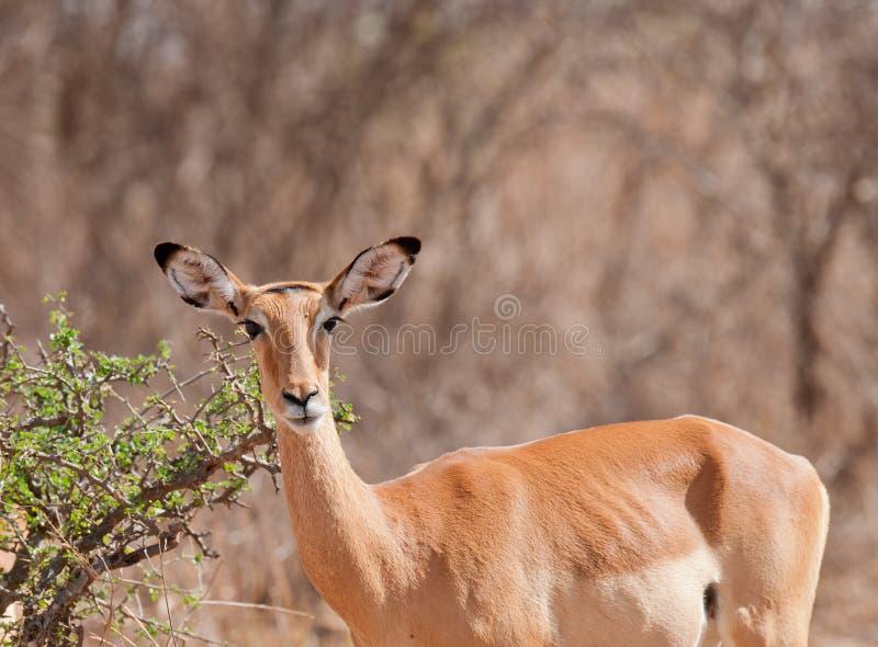 Closeup av en kvinnlig impala arkivfoto