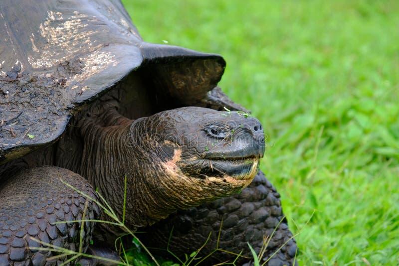 Closeup av en låsande fast sköldpadda på ett gräs- fält med suddig bakgrund royaltyfri bild