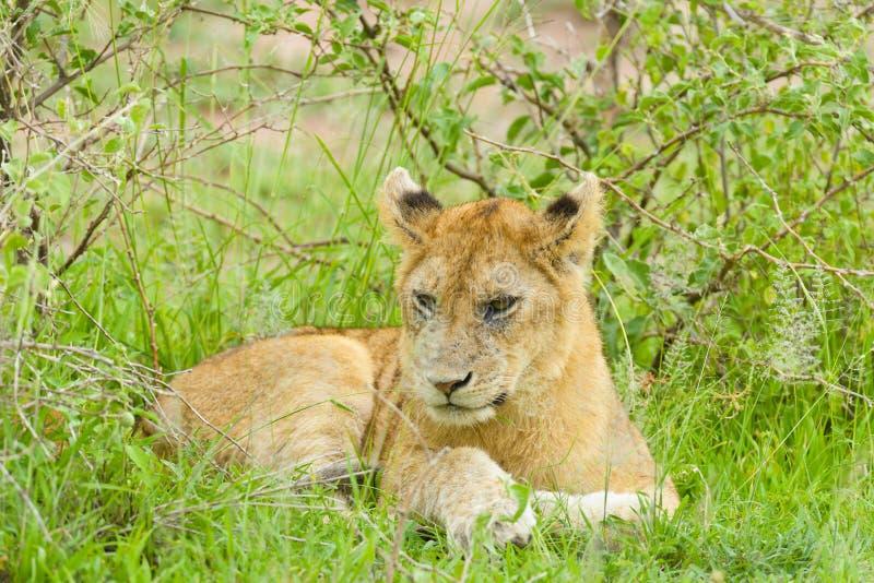 Closeup av en lejongröngöling i regnet fotografering för bildbyråer