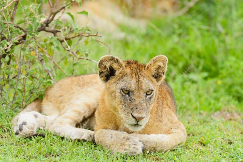 Closeup av en lejongröngöling i regnet royaltyfria foton
