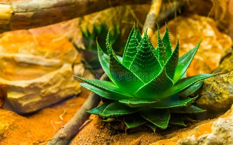 Closeup av en liten aloevera växt, ayurvedic medicin, populära kultiverade växter i trädgårdsnäring royaltyfri fotografi