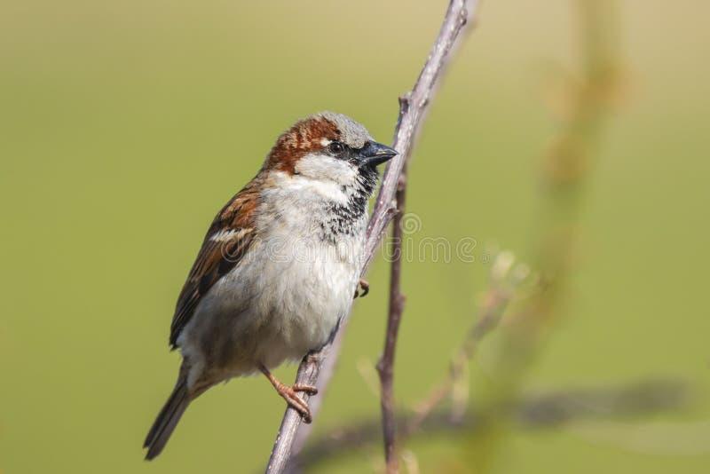 Closeup av en manlig foragin för domesticus för gråsparvfågelförbipasserande fotografering för bildbyråer