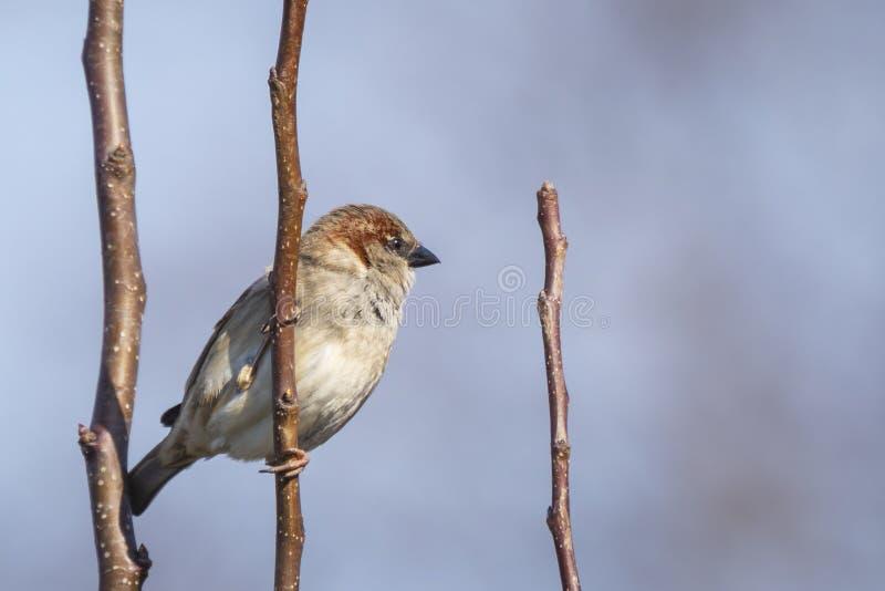 Closeup av en manlig foragin för domesticus för gråsparvfågelförbipasserande arkivbilder