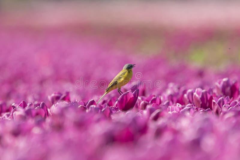 Closeup av en manlig västra gul flava för sädesärlafågelMotacilla arkivfoton
