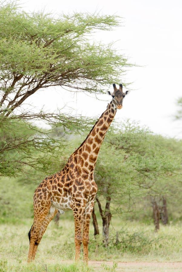 Closeup av en Masaigiraff på de Serengeti slättarna arkivfoton