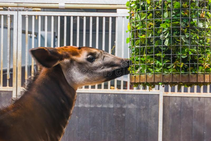 Closeup av en okapi som mycket äter från en korg av filialer med gröna sidor, djur matning för zoo, utsatt för fara giraffspecie  arkivfoto