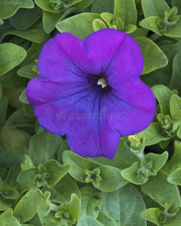 Closeup av en purpurfärgad petunia arkivbilder