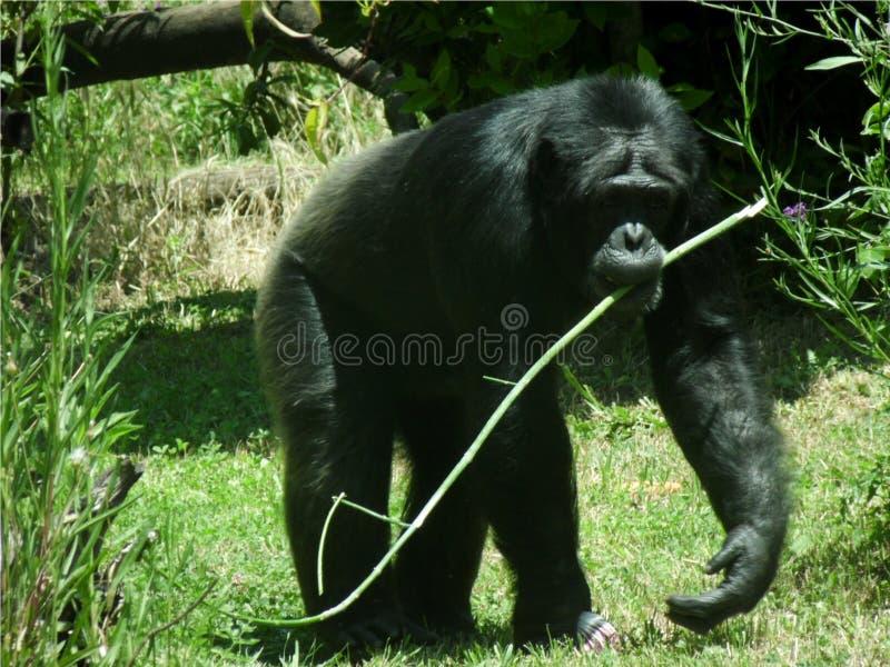 Closeup av en schimpans som går på gräset med en grön kvist i munnen fotografering för bildbyråer
