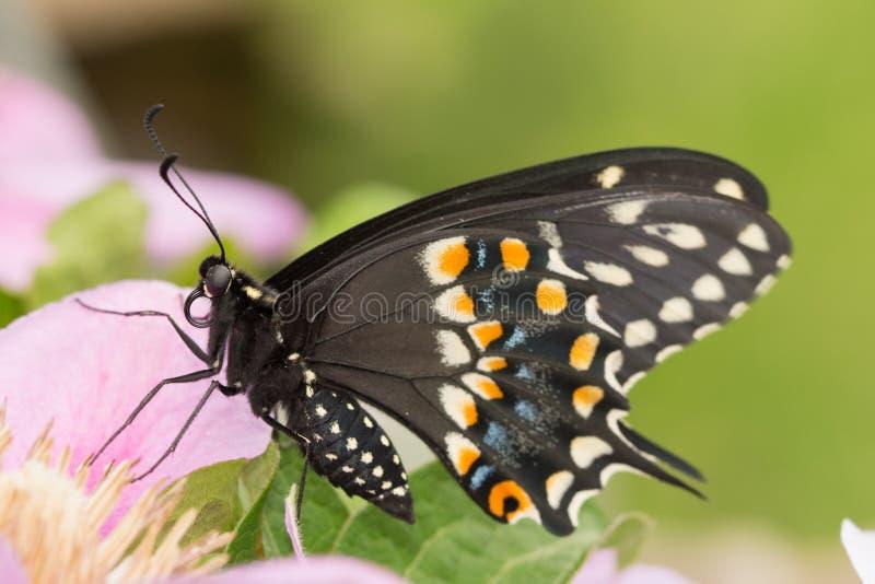 Closeup av en svart Swallowtail fjäril royaltyfria foton