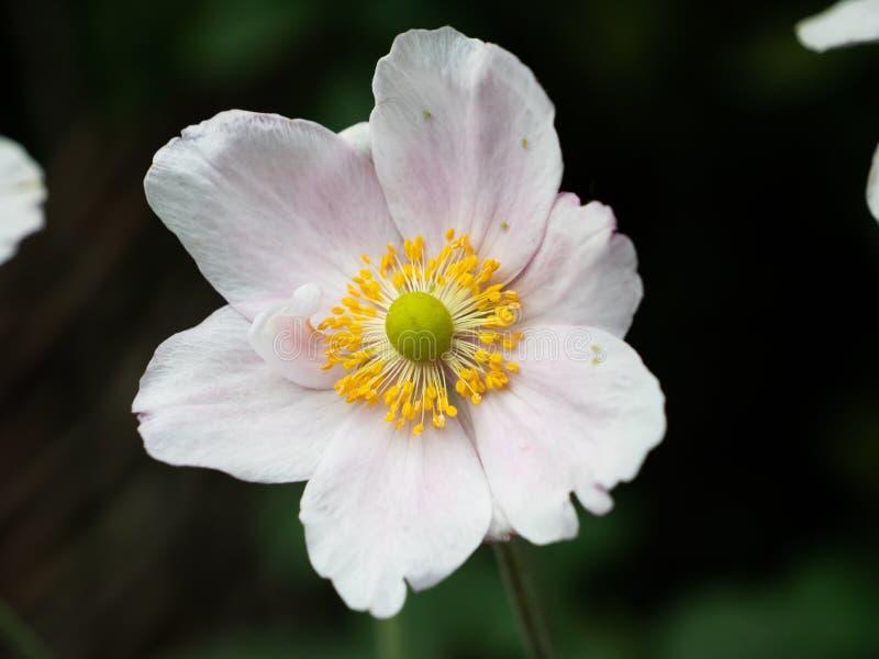 Closeup av en vit blomma med den gula mitten arkivfoton