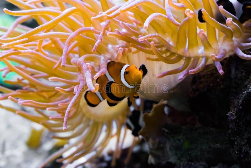 Closeup av en vit och orange satt band perculaclownfisk som döljer under en havsanemon arkivfoton